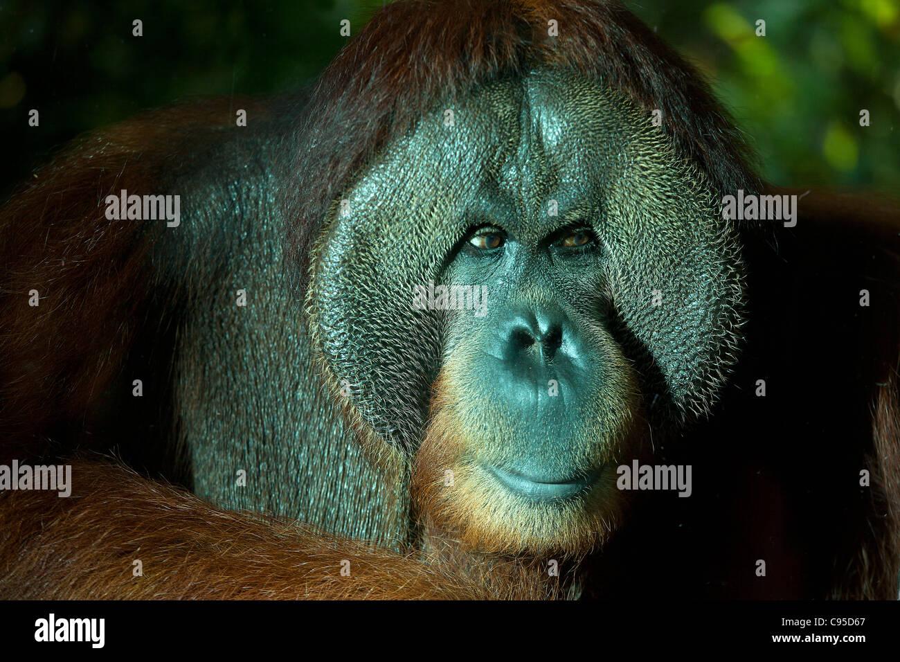 Orangutan, Singapore zoo - Stock Image