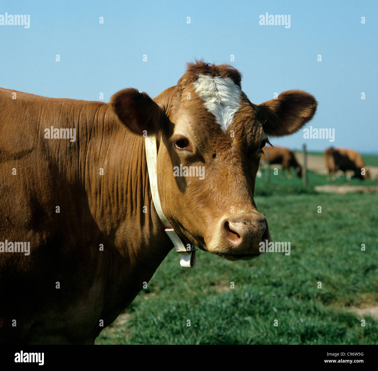 Guernsey cow with identification collar but no tags - Stock Image