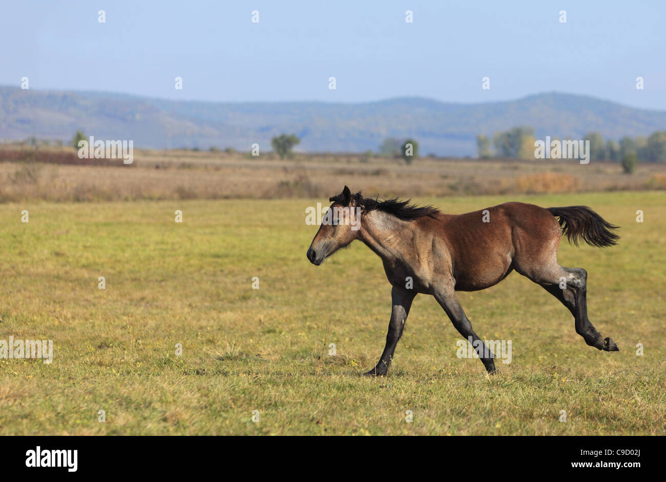 A foal running solely in an autumn field. - Stock Image