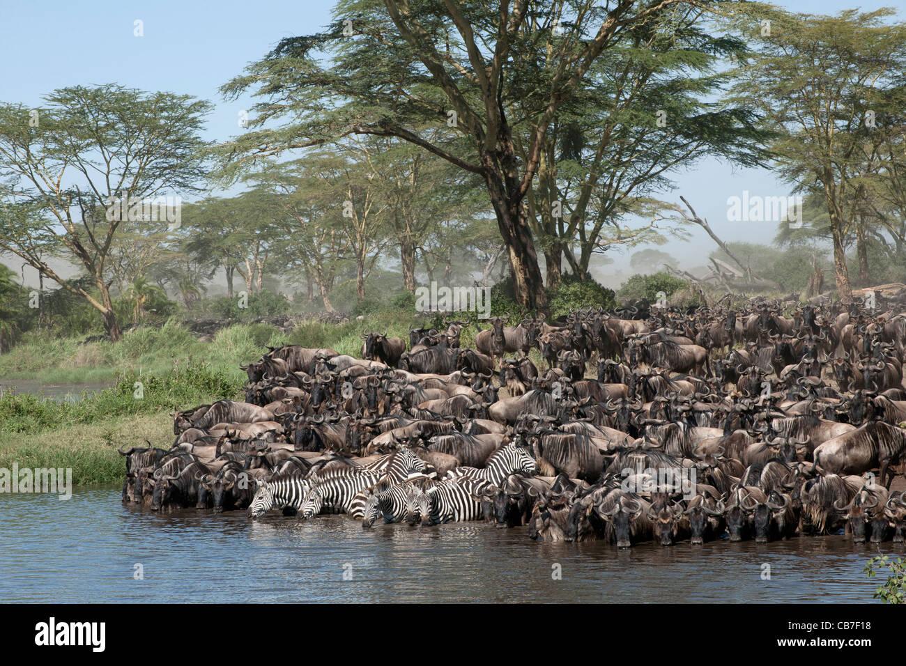 Herds of wildebeest and zebra at the Serengeti National Park, Tanzania, Africa - Stock Image