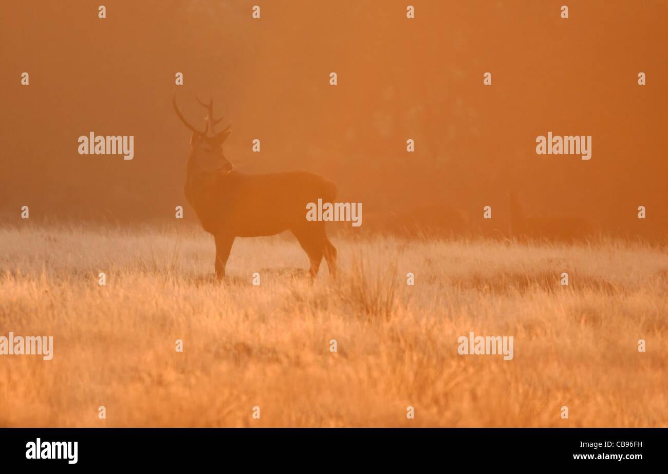 Red Deer (Cervus Elaphus) stag at sunrise - Stock Image