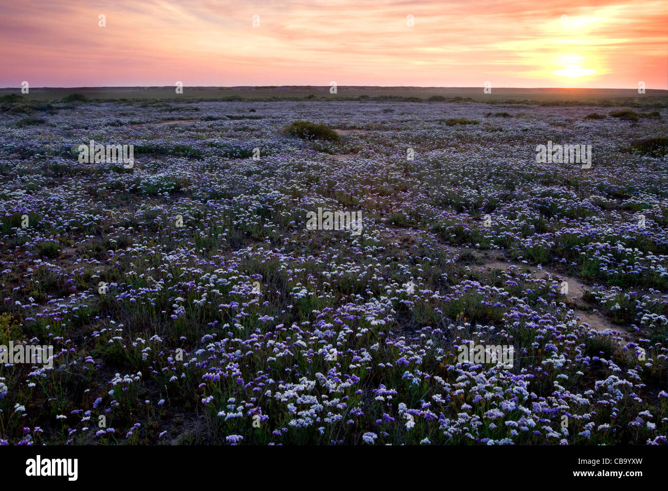 Wildflowers in bloom at sunset near Tijuana, Mexico. - Stock Image