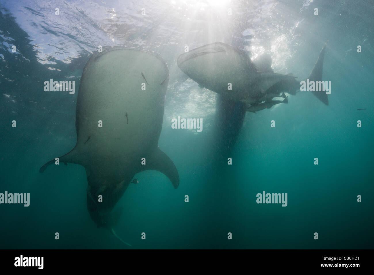 Two Whale Shark, Rhincodon typus, Cenderawasih Bay, West Papua, Indonesia - Stock Image