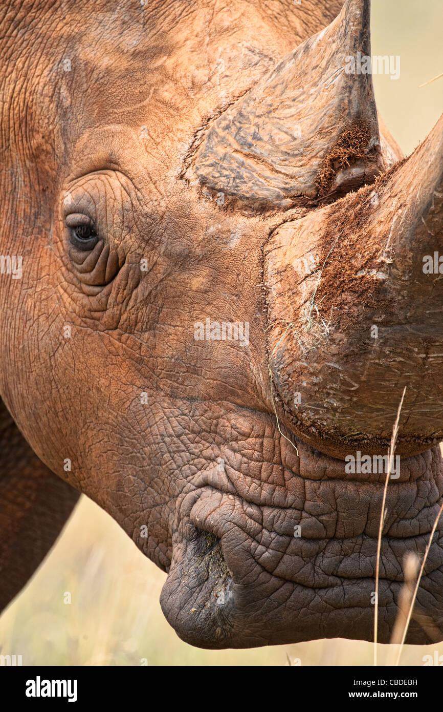 White rhinoceros (Ceratotherium simum) square-lipped rhinoceros portrait of horn and eye Madikwe Game Reserve South - Stock Image