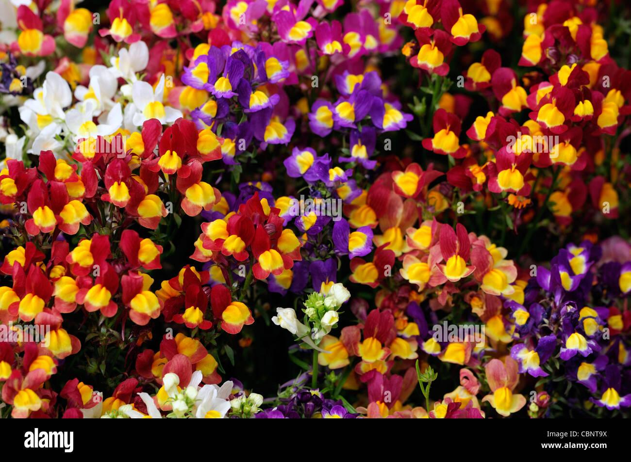 Linaria maroccana fantasy mix delicate dwarf bright bi coloured linaria maroccana fantasy mix delicate dwarf bright bi coloured flowers shades magenta red pink yellow blue white bedding annual izmirmasajfo Choice Image