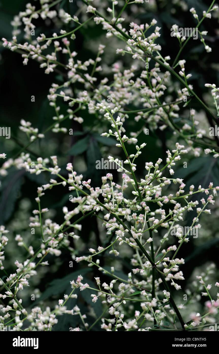 Artemisia Lactiflora Guizhou White Mugwort Spray Flowers Blooms