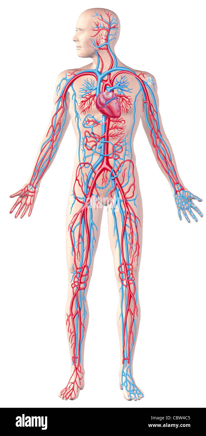 Human circulatory system full figure cutaway anatomy illustration human circulatory system full figure cutaway anatomy illustration with clipping path included ccuart Gallery