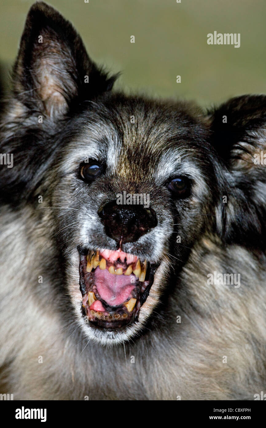 Old terrifying Tervuren Belgian Shepherd Dog showing open mouth with ugly, rotten teeth - Stock Image