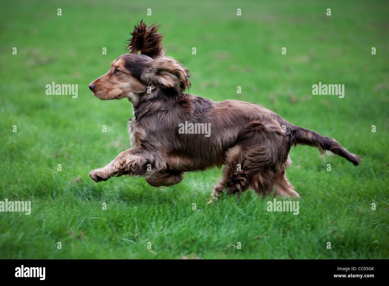 English Cocker Spaniel running in garden - Stock Image
