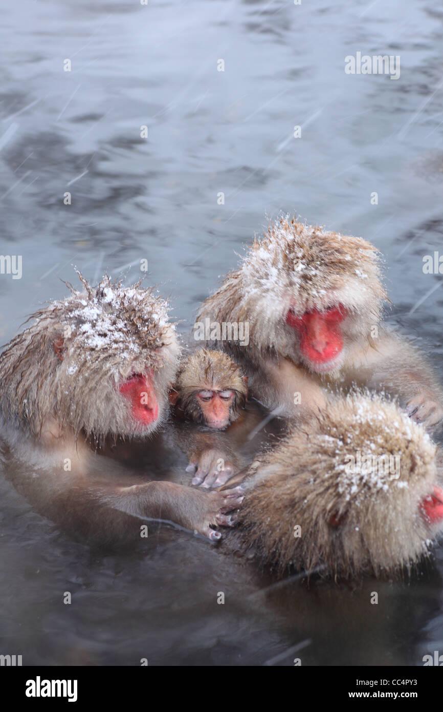 Snow monkey in hot spring, Jigokudani, Nagano, Japan - Stock Image