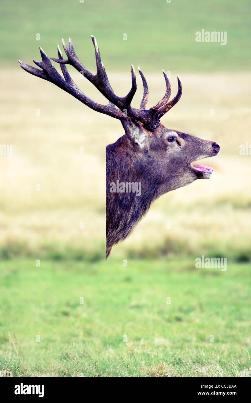 Deer head composite image - Stock Image