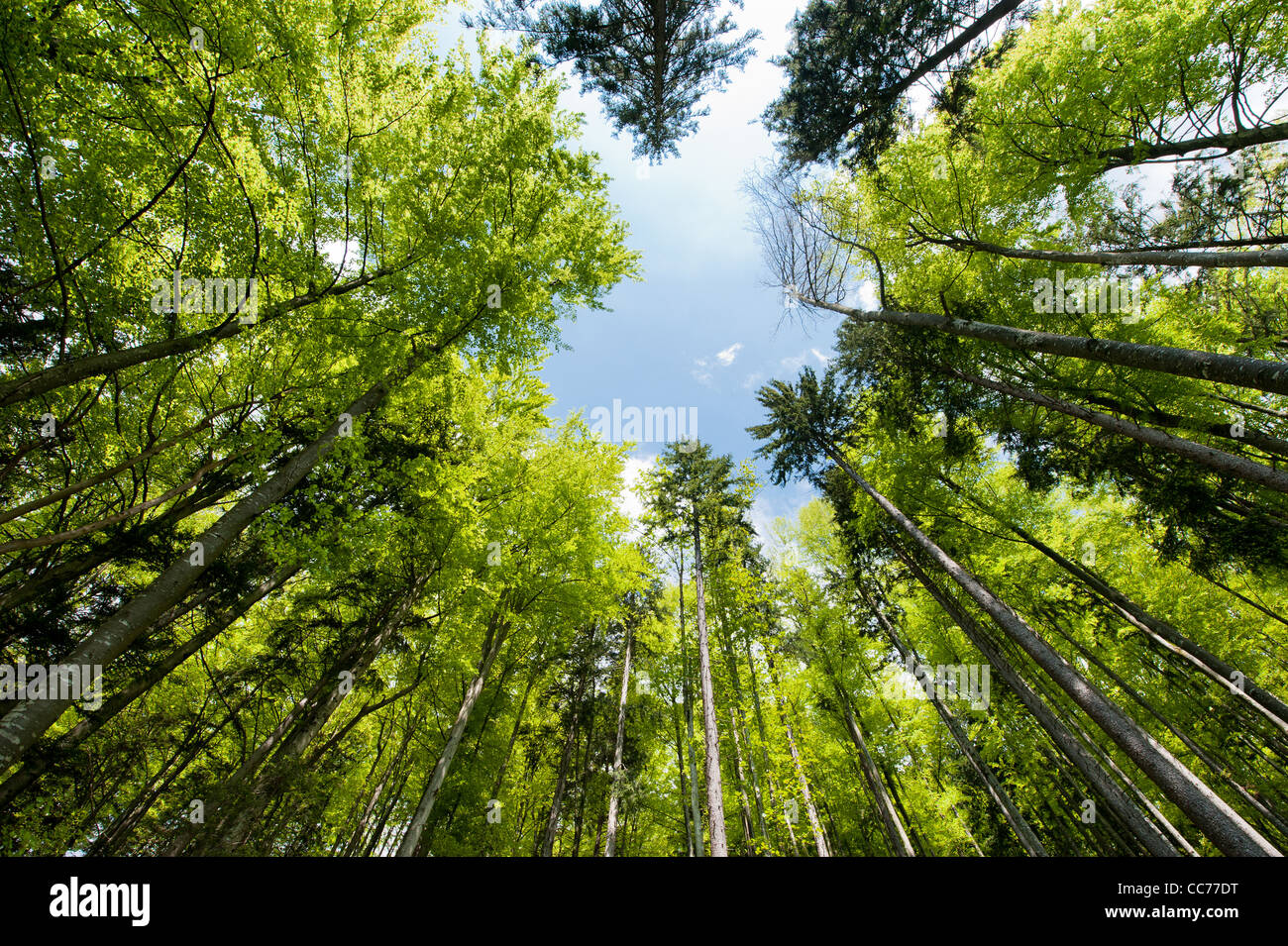 Wide angle view of a colorful spring forest - Stock Image