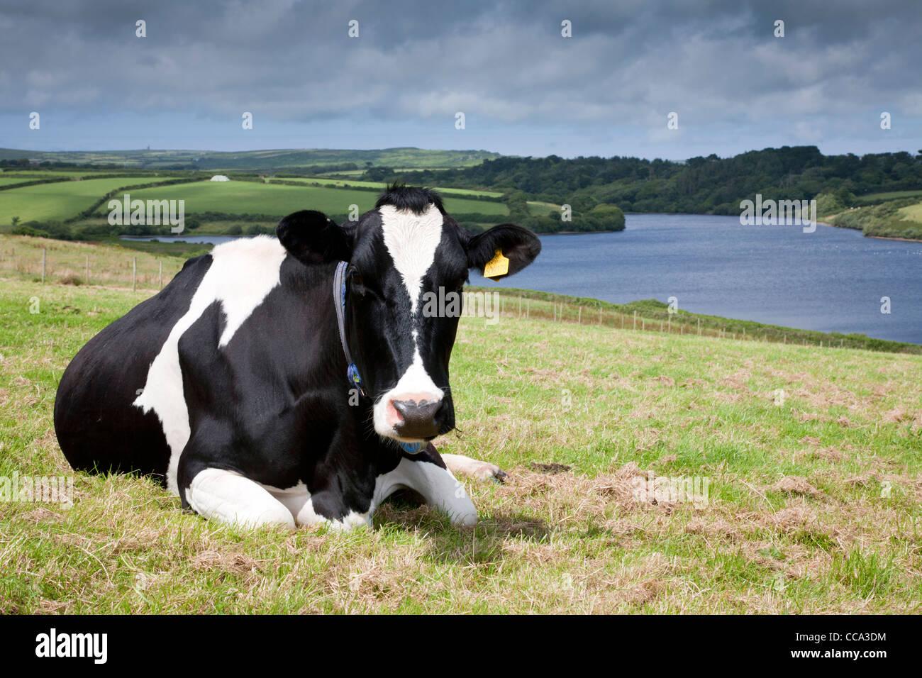 Friesian Cow Overlooking Drift Reservoir; Cornwall; UK - Stock Image