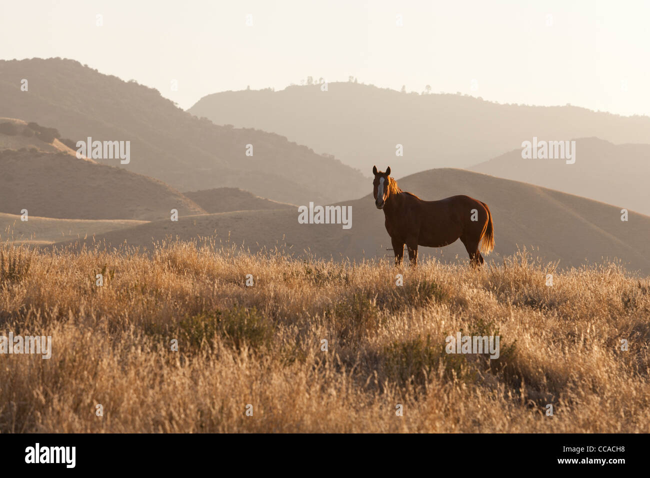 Wild horse standing on hill - Stock Image