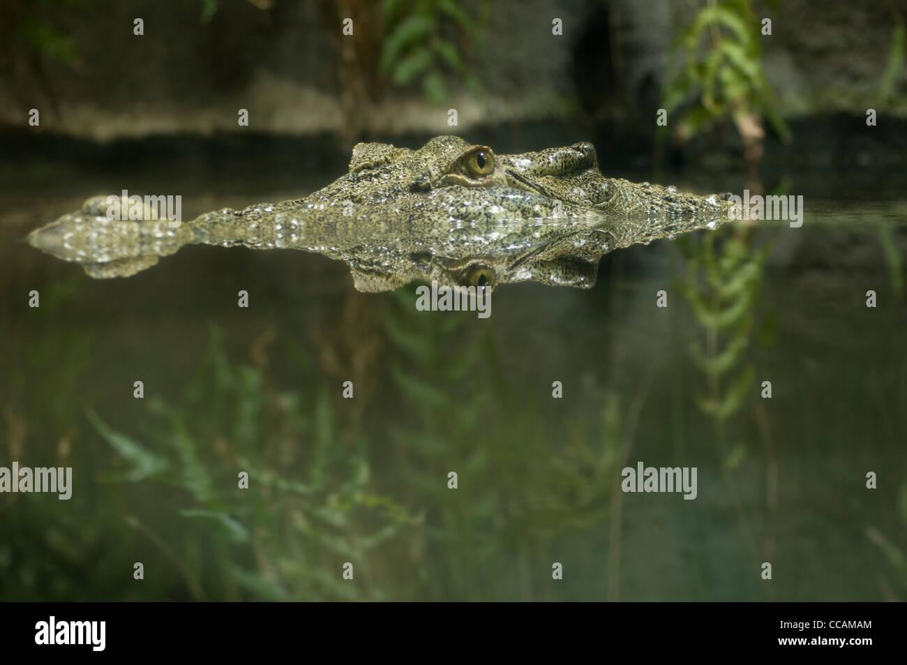 a-salt-water-crocodile-also-known-as-est