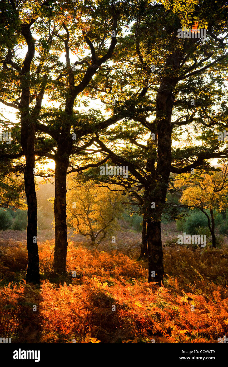 Evening light on autumn oak wood, Erriff Woods, County Mayo, Ireland. - Stock Image