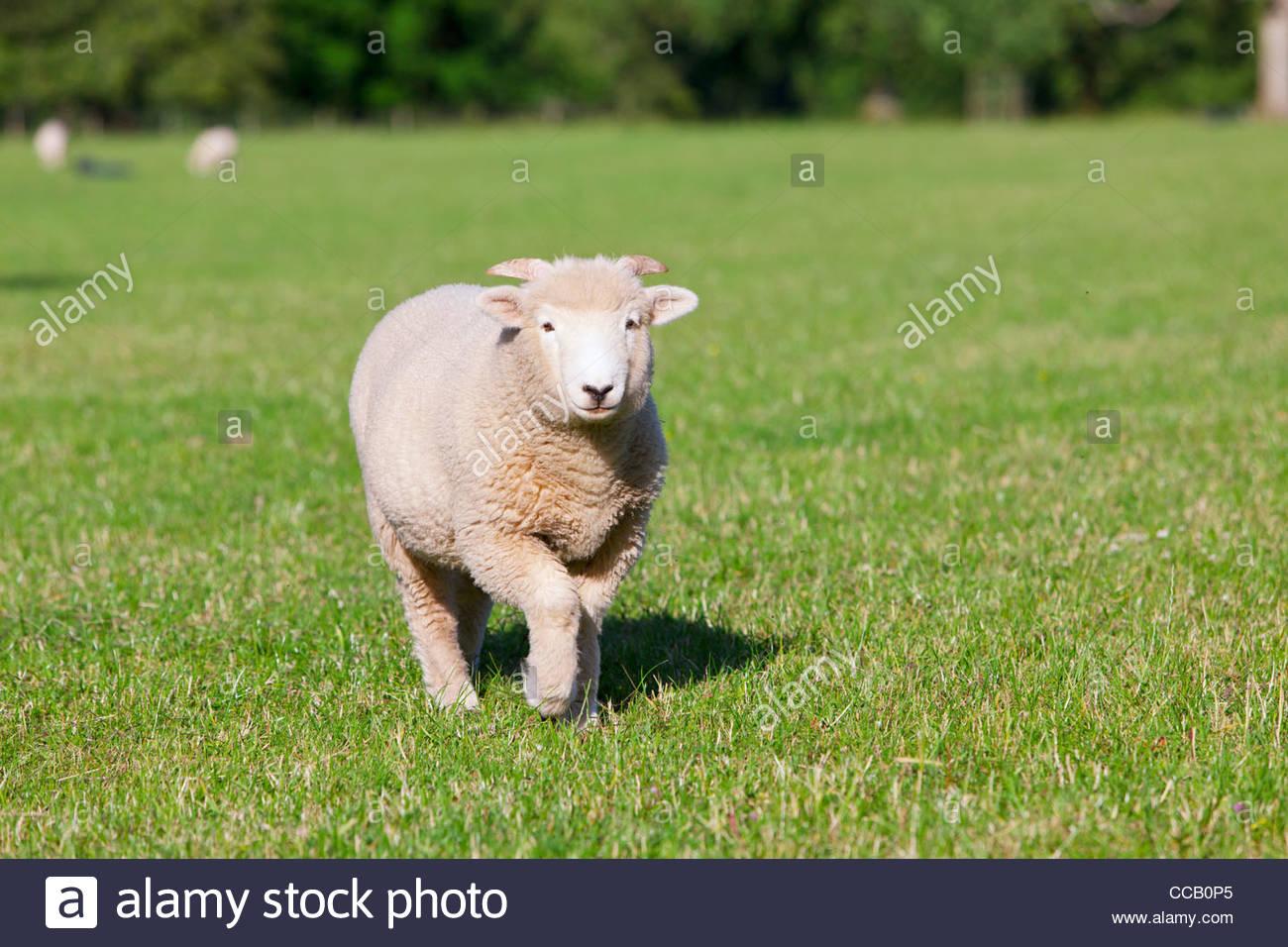 Sheep walking in field - Stock Image