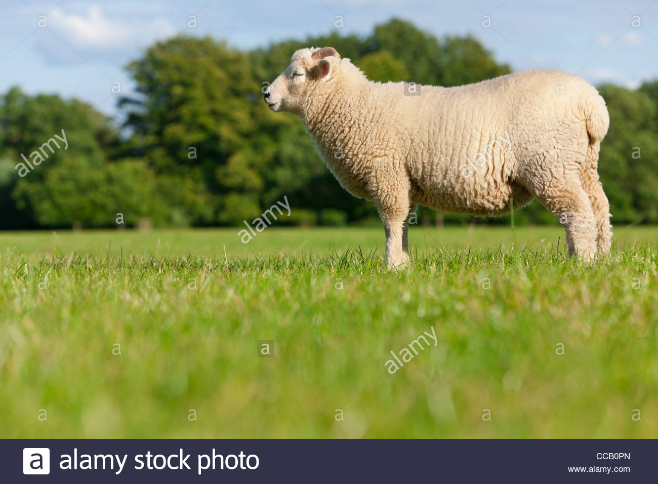 Sheep standing in field - Stock Image