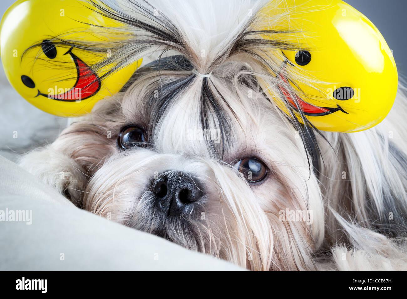 Shih tzu dog with smiles ears. - Stock Image