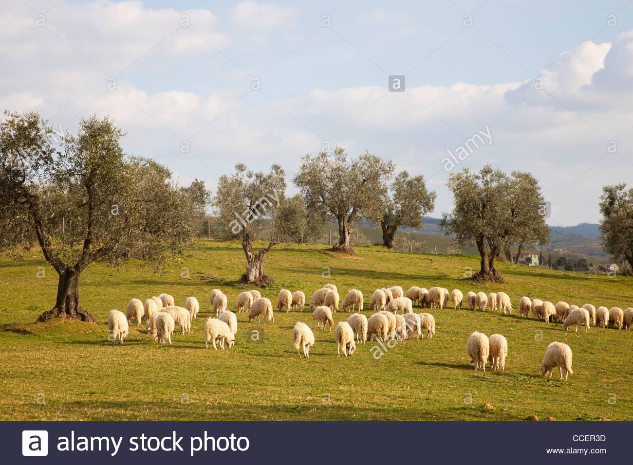 sheep,countryside,scansano,province of grosseto,tuscany,italy,europe - Stock Image
