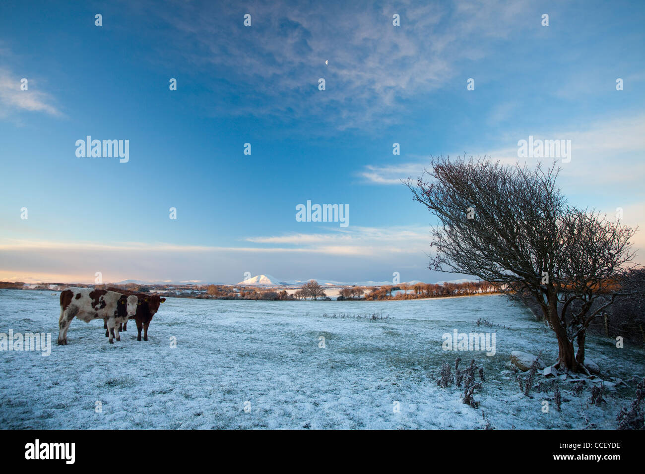 Winter cattle, County Sligo, Ireland. - Stock Image