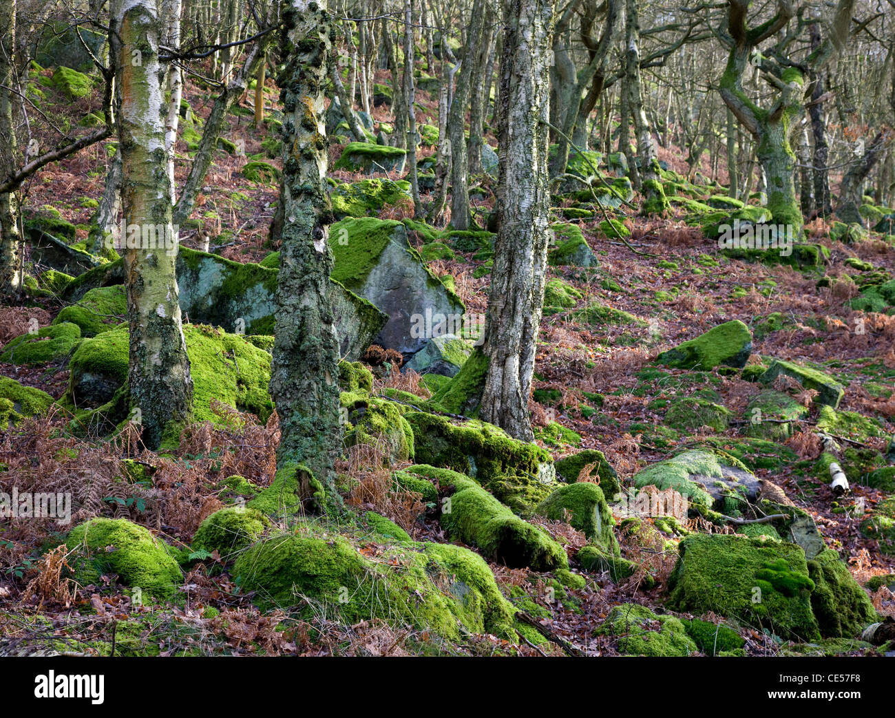 Birch woodland on steep rocky slopes below Froggatt Edge near Baslow in the Derbyshire Peak district - Stock Image