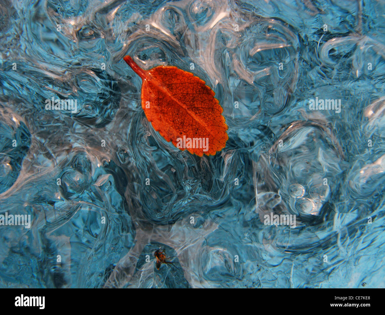 Lenga (Nothofagus) leaf frozen onto melting surface of glacier, Perito Moreno Glacier, Patagonia, Argentina Stock Photo