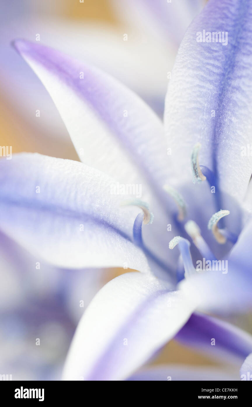 Graphic close-up of a single white and purple striped flower of Triteleia laxa Rudy Ithuriel's Spear native - Stock Image