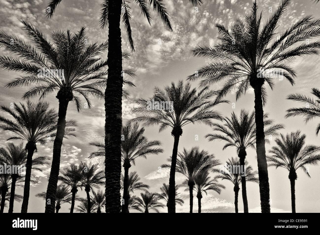 Palm trees at sunrise. Palm Desert, California - Stock Image