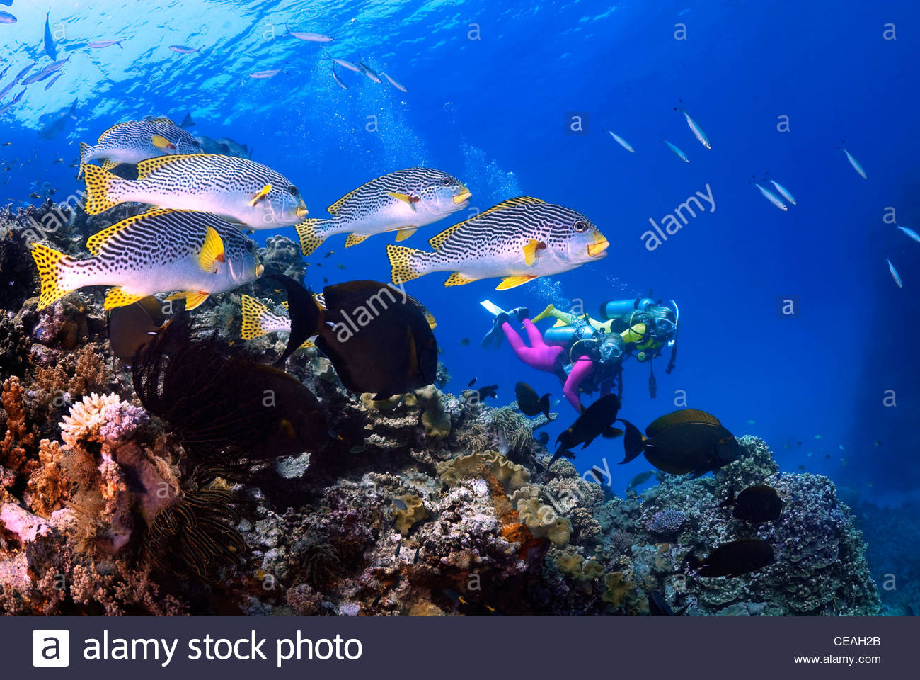 Diagonal-banded Sweetlips (Plectorhinchus lineatus), Great Barrier Reef Stock Photo