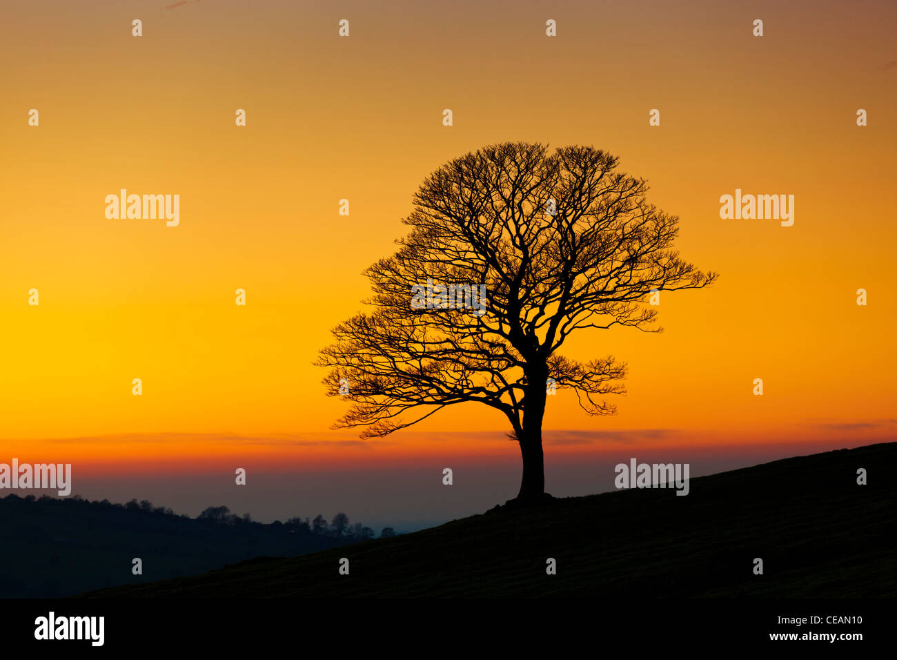 one tree empty of leaves in winter at sunset in the Roaches near Leek Staffordshire England UK GB EU Europe - Stock Image