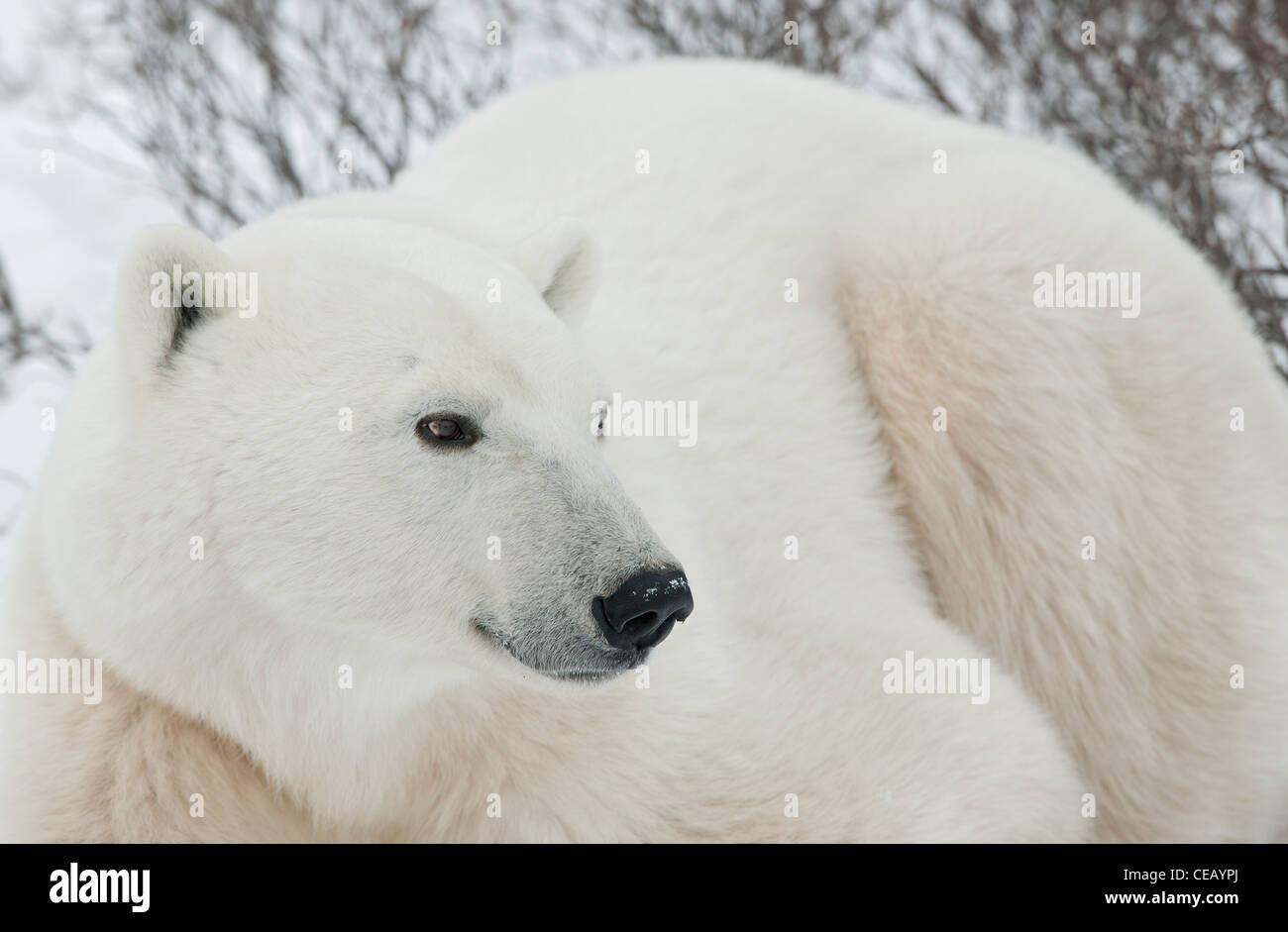 Polar Bear . Close up - Stock Image