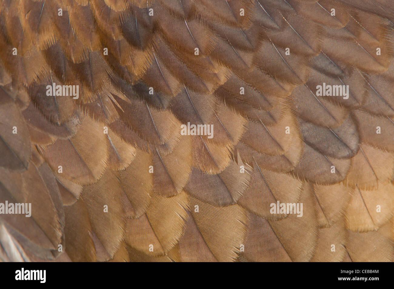 Golden Eagle Aquila chrysaetos (captive) at Hawk Conservancy Trust in September. Stock Photo