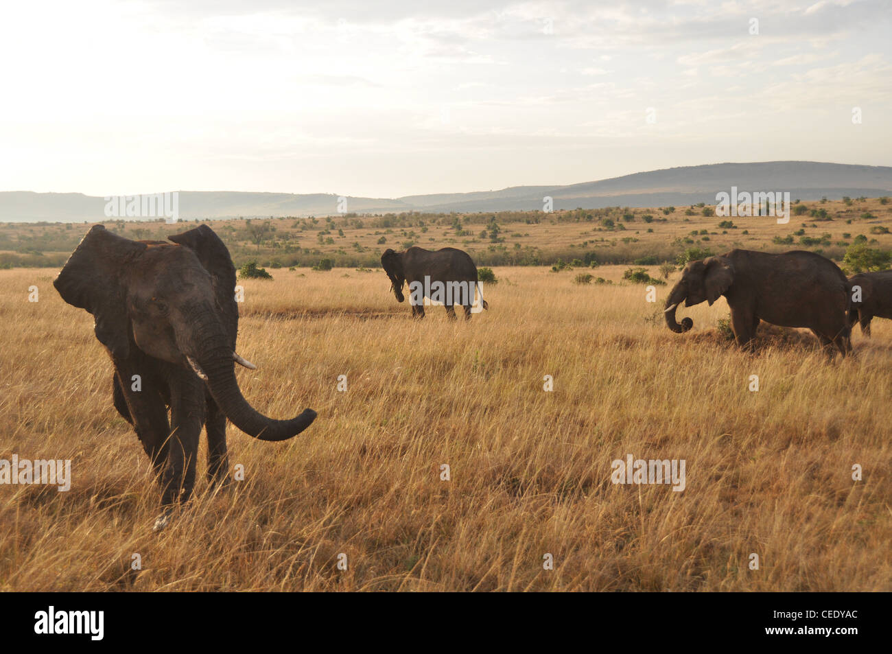 Elephants int the Savanna - Stock Image