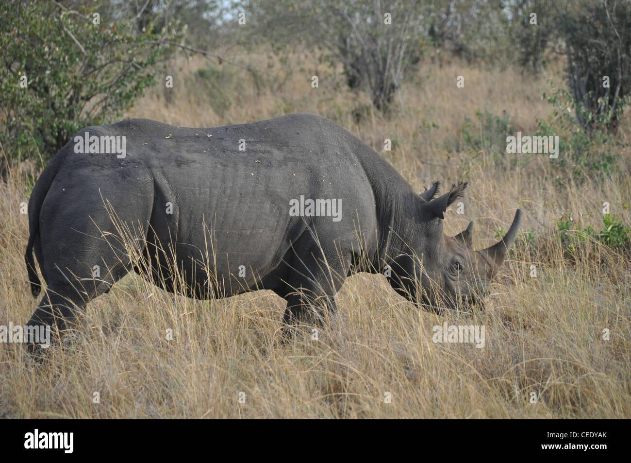 Rhinoceros in the Savanna - Stock Image
