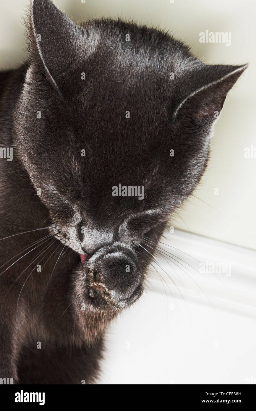 russian blue kitten cleaning - Stock Image