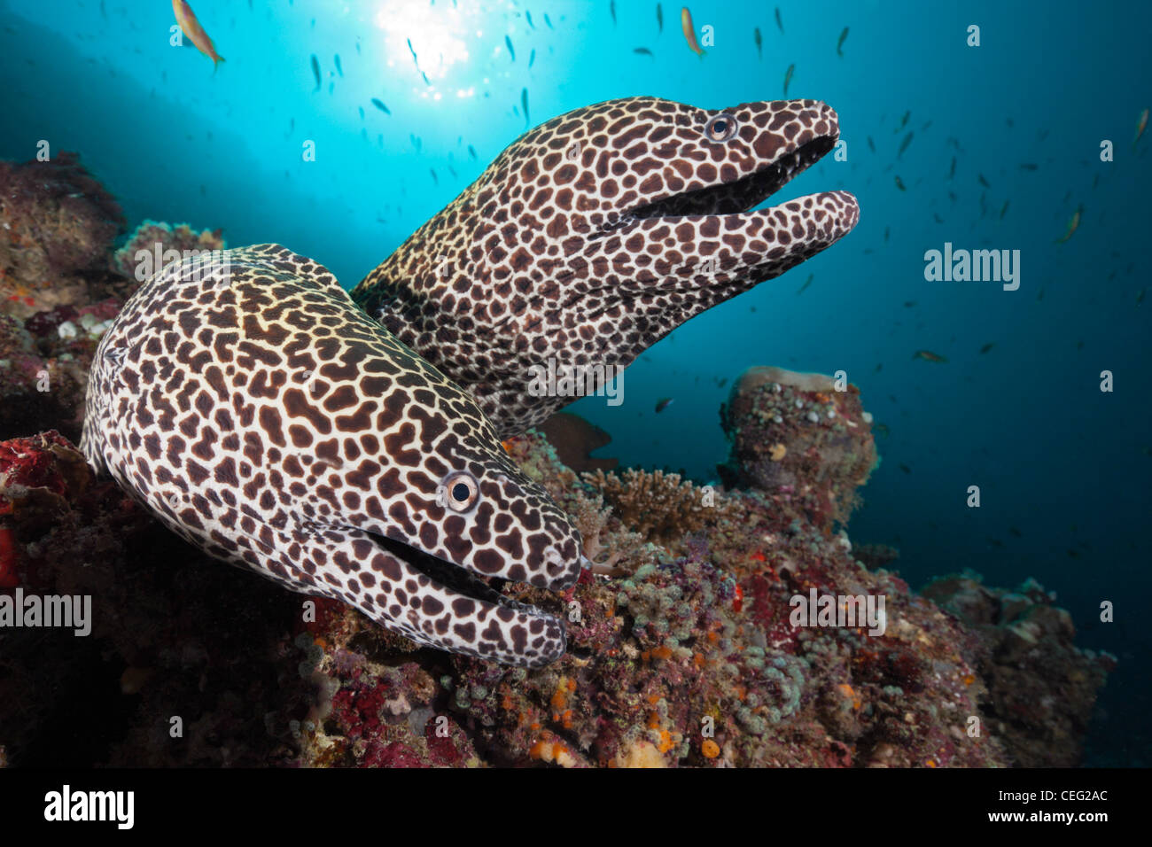 Pair of Honeycomb Moray, Gymnothorax favagineus, North Male Atoll, Indian Ocean, Maldives - Stock Image