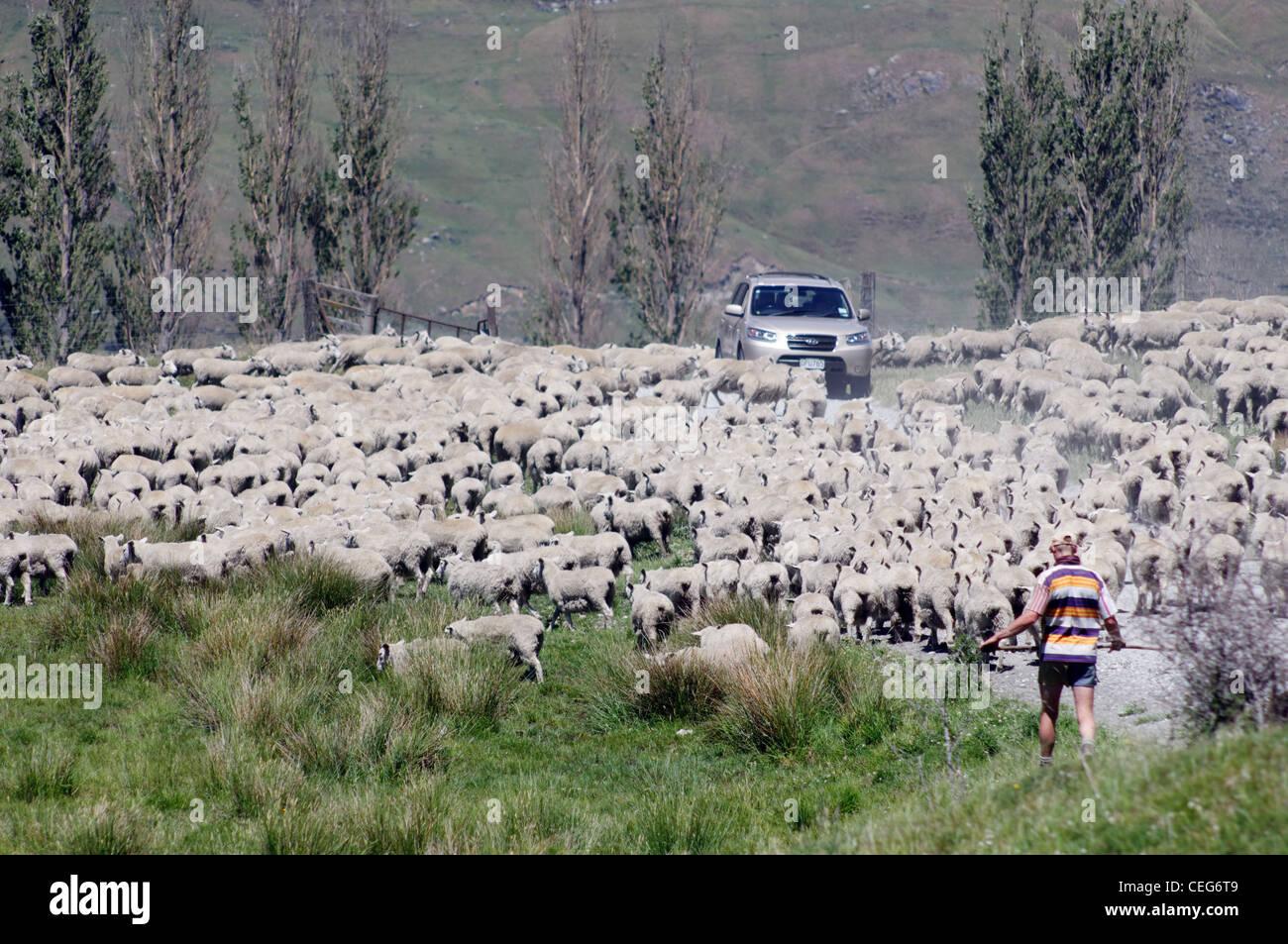 sheep-blocking-the-road-in-mount-aspirin