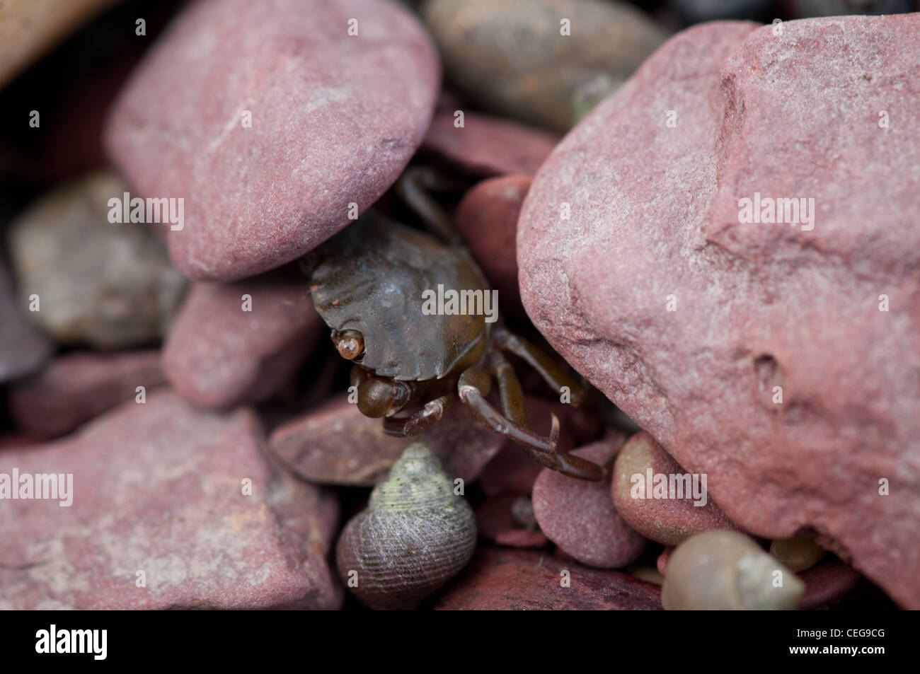 Crab in the rocks - Stock Image