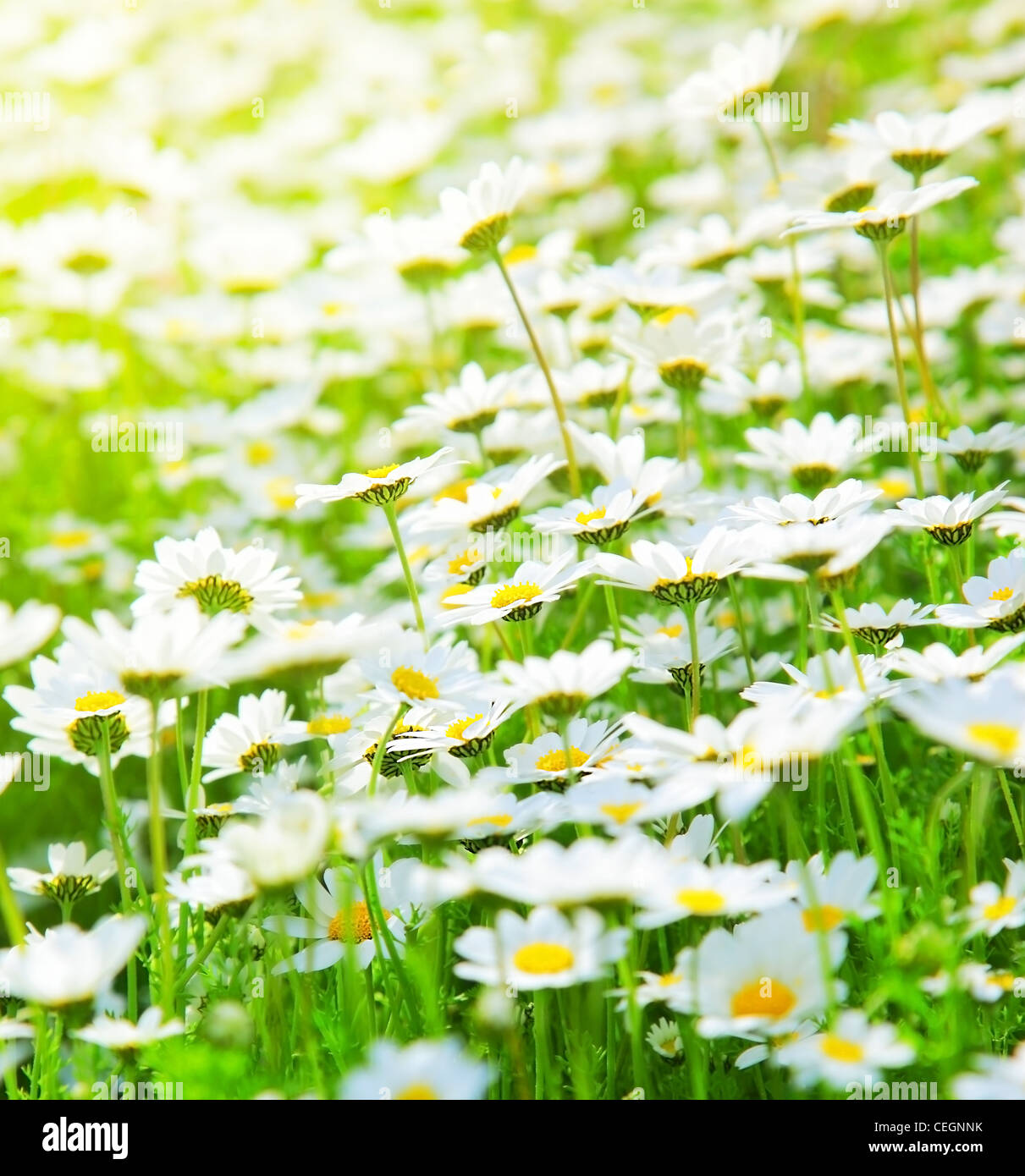 Spring Meadow Of White Fresh Daisy Flowers With Bright Sun Light