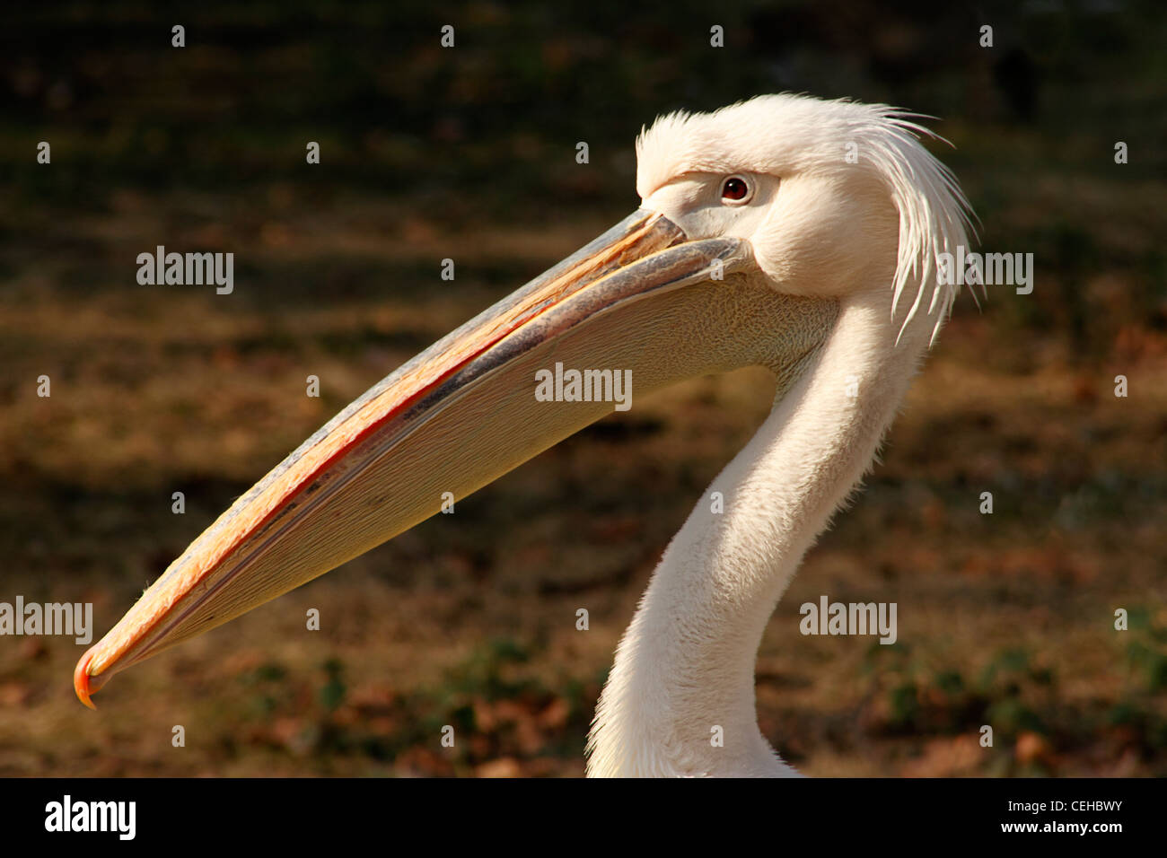 Great White Pelican, (Pelecanus onocrotalus) St James's Park, London, UK - Stock Image
