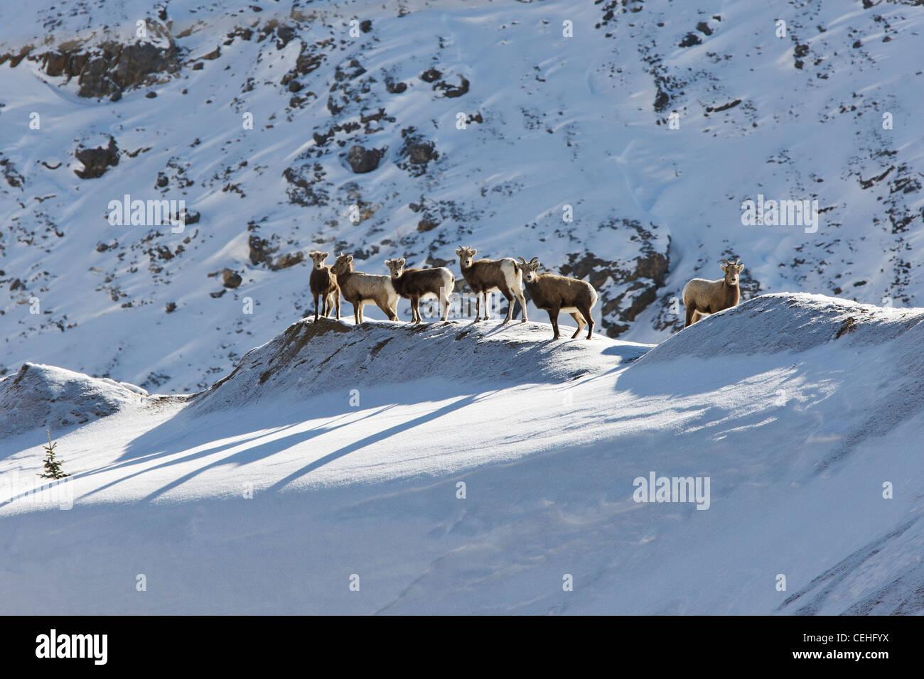 Rocky Mountain bighorn sheep, Ovis Canadensis, in winter, Monarch Pass, Colorado, USA - Stock Image