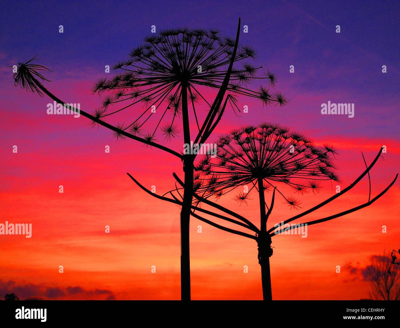 Giant,Cow,Parsley,flower,in,front,of,sunset,sunrise,red,orange,blue,sky,landscape,Lymm,Cheshire,UK,United,Kingdom,Giant,Cow,Parsley,Wild,Flower,Autumn,Sunset,Red,Orange,Blue,Silhouette,giant,big,cow,parsley,growing,wild,England,UK,Cheshire,sunset,sunrise,gotonysmith,Buy Pictures of,Buy Images Of