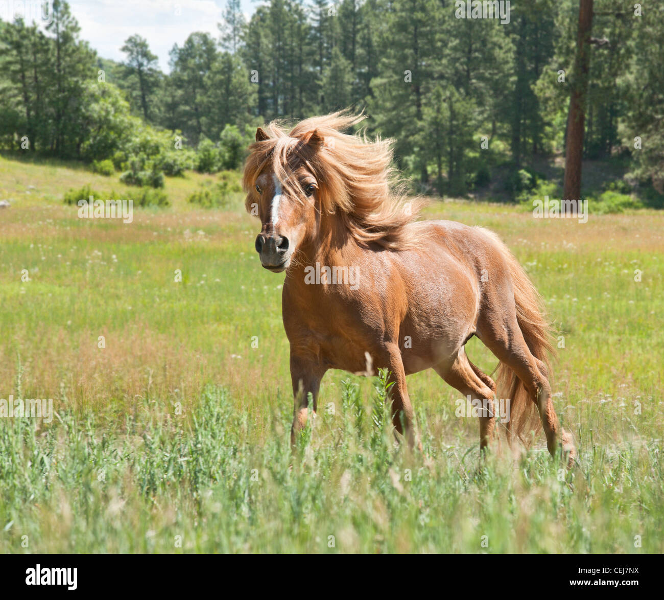 Miniature Horse stallion - Stock Image