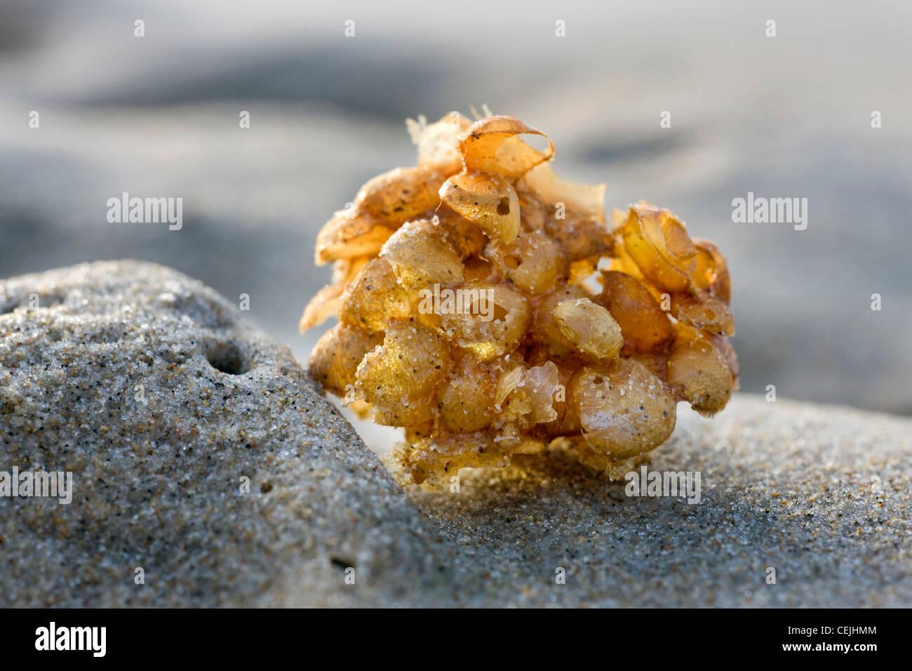 Common whelk (Buccinum undatum) egg mass / sea wash ball on beach, Belgium - Stock Image