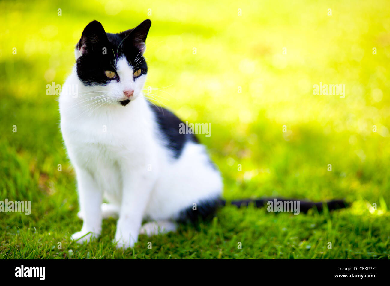 stray cat - felis catus - sitting on green grass and looking with intense - Stock Image
