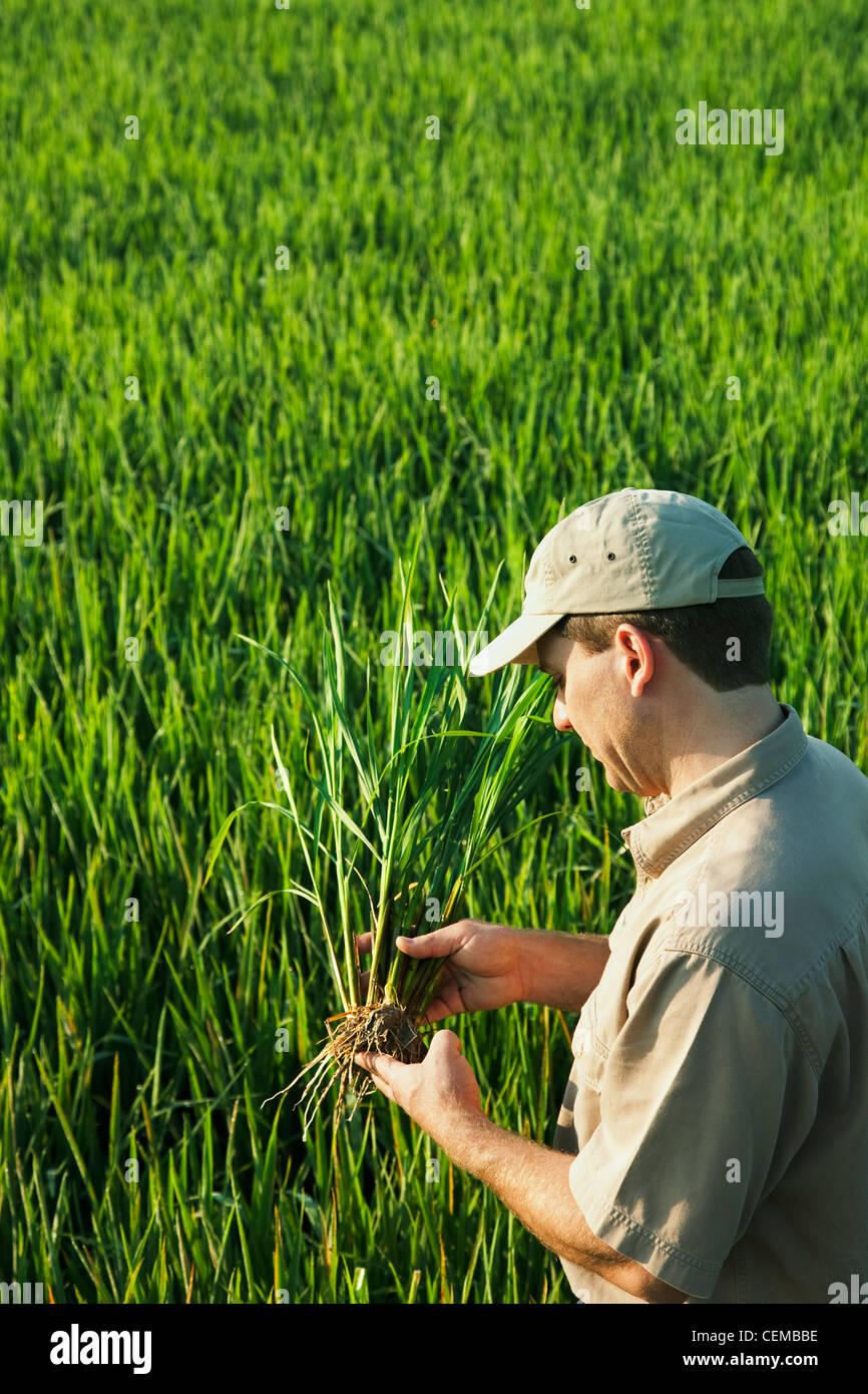 Agriculture - A crop consultant in the field inspects a mid growth rice plant at the early head formation stage - Stock Image