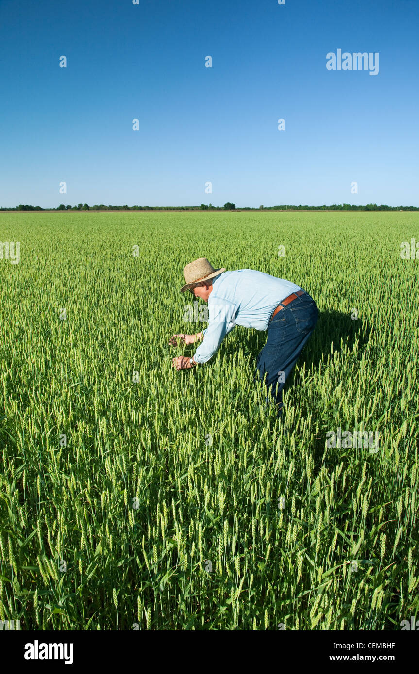 Agriculture - A farmer (grower) inspects his crop of soft red winter wheat / near England, Arkansas, USA. - Stock Image
