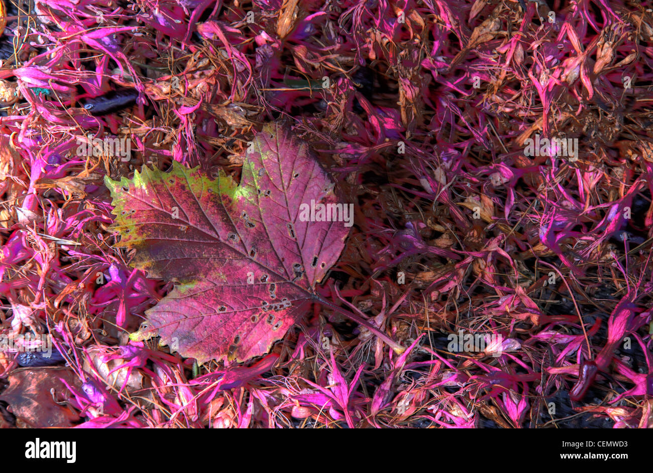 Autumn Red Pink Leaf on pink autumn fallen foliage,great,reds,and,purples,petals,flowers,shades,shade,of,purple,fall,the,fall,gotonysmith,gotonysmith,Buy Pictures of,Buy Images Of