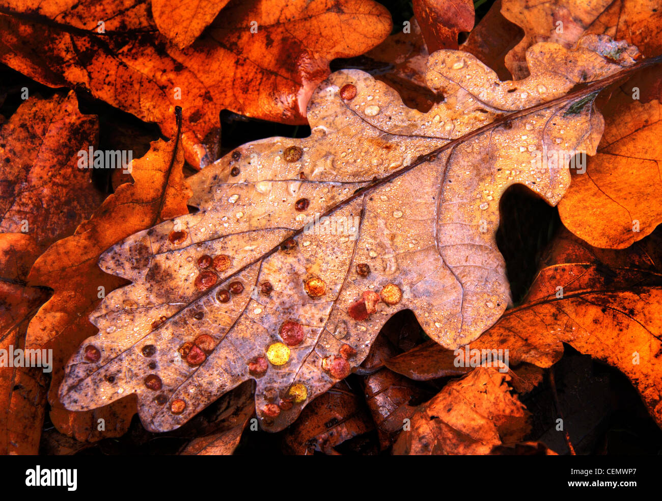Common,Oak,Spangle,Gall,brown,leaf,leaves the fall,autumn,UK,England,gotonysmith,tree,plant,scrub,water,rain,droplets,Cheshire,wood,forest,floor,gotonysmith,Buy Pictures of,Buy Images Of